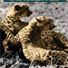 Cheetahs of the Serengeti Plains: Group Living in an Asocial Species (Wildlife Behavior and Ecology series)